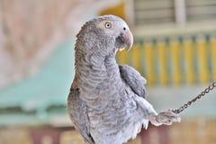 серый попыгай Стоковая Фотография