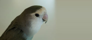 Серый попыгай Стоковая Фотография RF