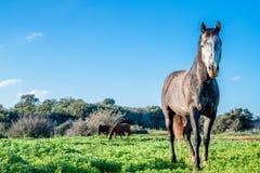 Серый портрет лошади в луге Стоковая Фотография