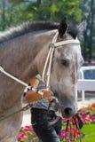 Серый портрет лошади перед участвовать в гонке Стоковые Изображения RF