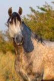 серый портрет лошади Стоковая Фотография RF