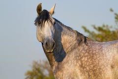 серый портрет лошади Стоковое Изображение