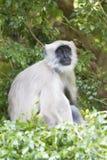 серый портрет langur Стоковое Изображение RF
