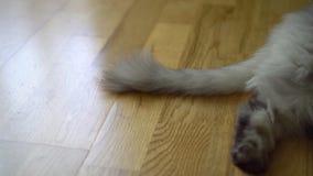 Серый пушистый кот вытягивает свой кабель в недовольстве, показывая свою раздражительность акции видеоматериалы