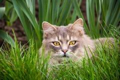 Серый пушистый кот сидит в зеленой траве Домашняя кошка сидит в саде Домашняя кошка спрятанная в траве Стоковое Фото