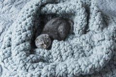 Серый пушистый кот створки scottish лежа на одеяле шерстей в спальне Стоковое Изображение RF