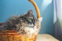 Серый пушистый ленивый кот лежит в корзине на голубом космосе экземпляра предпосылки стоковая фотография rf