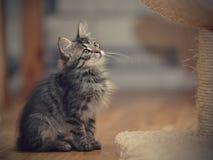 Серый пушистый striped котенок сидит Стоковые Изображения