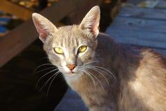 Серый рысь кота с большими ушами и желтыми глазами лежа смотреть бездомен в солнце стоковые изображения