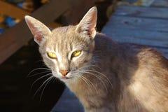 Серый рысь кота с большими ушами и желтыми глазами лежа смотреть бездомен в солнце стоковая фотография