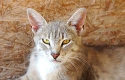 Серый рысь кота с большими ушами и желтыми глазами лежит смотрящ бездомное зло стоковые фото
