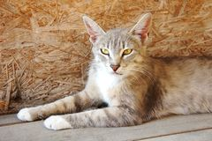 Серый рысь кота с большими ушами и желтыми глазами лежит смотрящ бездомное зло стоковые изображения
