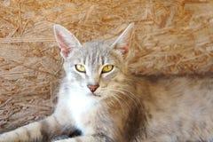 Серый рысь кота с большими ушами и желтыми глазами лежит смотрящ бездомное зло стоковое фото rf