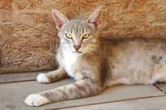 Серый рысь кота с большими ушами и желтыми глазами лежит смотрящ бездомное зло стоковая фотография rf