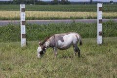 Серый серовато-коричневый цвет запятнал осла пася в поле Стоковые Изображения