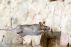 Серый скакать поля мыши Стоковые Фото