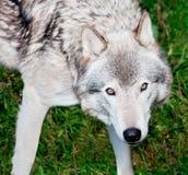 серый смотря волк вы стоковая фотография