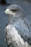 Серый сокол в средневековой выставке falconry стоковое фото rf