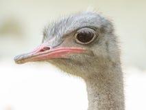 Серый страус Стоковое Изображение