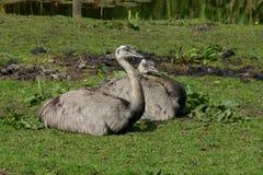 Серый страус Стоковое Фото