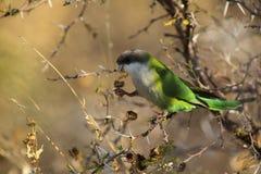 серый с капюшоном parakeet стоковые фото