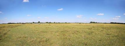 Серый табун коров скотин пася на венгерском puszta пустыни Стоковые Фотографии RF