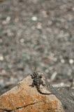серый утес ящерицы стоковые фотографии rf