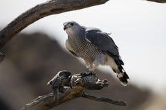 Серый хоук отдыхая на ветви дерева Стоковые Фото