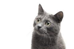 серый цвет близкого выражения кота смешной вверх Стоковые Фото