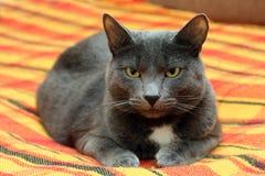 серый цвет большого кота Стоковое фото RF