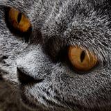 серый цвет великобританского кота смешной Стоковые Фотографии RF