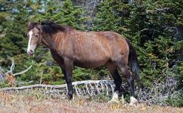 Серый цвет и залив Grulla дикой лошади покрасили конематку идя вдоль Sykes Риджа над шаром чашка в горах Pryor в Монтане Стоковые Изображения RF