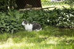 Серый цвет и какой кот кладя на зеленую траву смотря добычу стоковое изображение