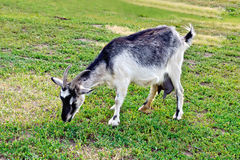 Серый цвет козы на траве Стоковая Фотография