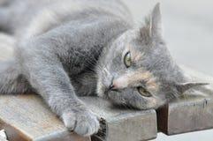 серый цвет кота милый Стоковое Фото