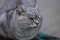 серый цвет кота милый Стоковая Фотография RF