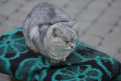 серый цвет кота милый Стоковые Изображения