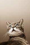 серый цвет кота предпосылки Стоковое Изображение