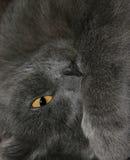 серый цвет кота стоковое изображение