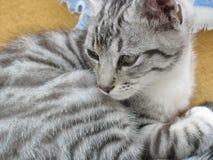 серый цвет кота Стоковые Фото