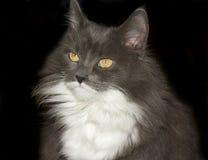 серый цвет кота Стоковая Фотография