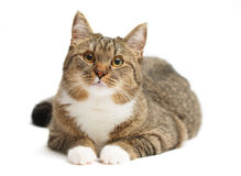 серый цвет кота Стоковые Изображения