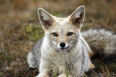 серый цвет лисицы Стоковые Изображения