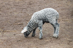 Серый цвет маленькой овечки молодой Стоковое Изображение RF