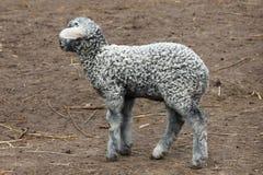 Серый цвет маленькой овечки молодой Стоковая Фотография
