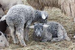 Серый цвет маленькой овечки молодой Стоковое Фото
