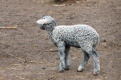 Серый цвет маленькой овечки молодой Стоковая Фотография RF