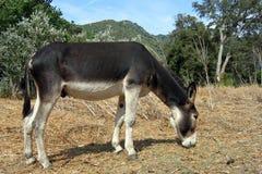 серый цвет осла Стоковая Фотография