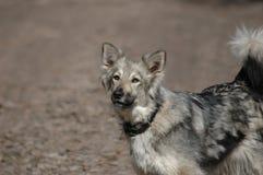 серый цвет собаки лаять стоковые изображения rf