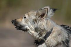 серый цвет собаки лаять Стоковая Фотография